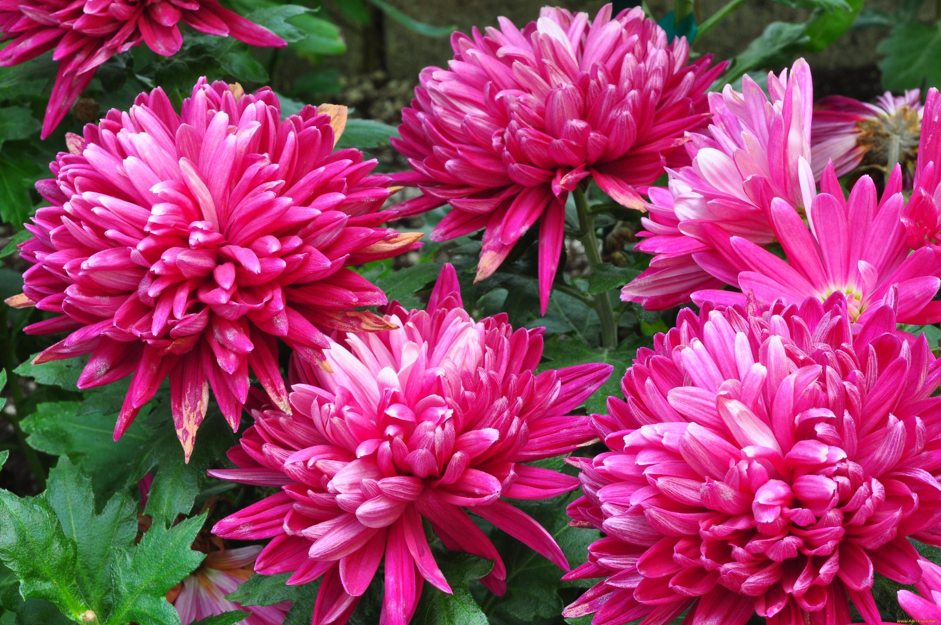 Цветок хризантема все фото